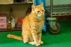 ちゃちゃ|梅ヶ島温泉 湯の華にいる猫のちゃちゃです。人懐っこい性格の茶トラちゃんです。