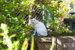 しろ|梅ヶ島温泉 湯の華にいる猫のしろです。人が近づくと逃げるため、見つけられたらラッキー☆カーポート、駐車場にいることが多いです。