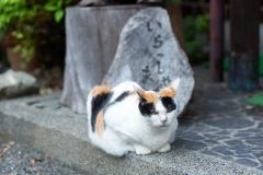 みーちゃん|梅ヶ島温泉 湯の華にいる看板ネコのみーちゃんです。その風格は大女将。お客様がみえるとお出迎えしてくれる時もあります。