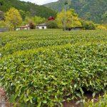 お茶摘み体験,新茶,静岡市梅ヶ島